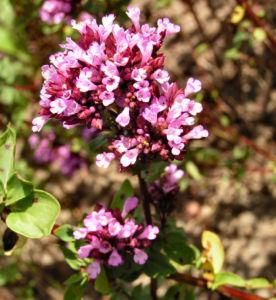 Dost Bluete pink Origanum laevigatum 01
