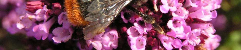dost-bluete-pink-origanum-laevigatum