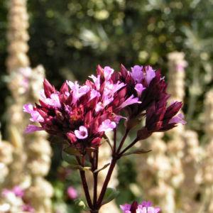 Dost Bluete pink Origanum laevigatum 04