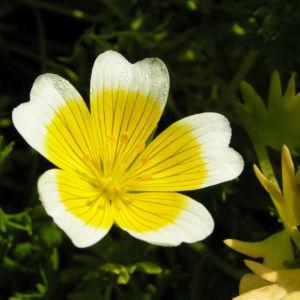 Douglas Sumpfblume Bluete gelb weiss Limnanthes douglasii 02