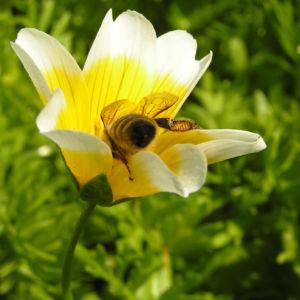 Douglas Sumpfblume Bluete gelb weiss Limnanthes douglasii 06