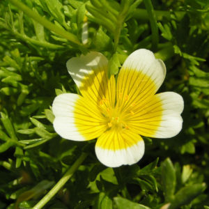 Bild: Douglas Sumpfblume Bluete gelb weiss Limnanthes douglasii