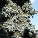Douglasie Baum Zapfen braun Pseudotsuga menziesii 10
