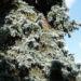 Zurück zum kompletten Bilderset Douglasie Zapfen braun Nadel blaugrün Pseudotsuga menziesii