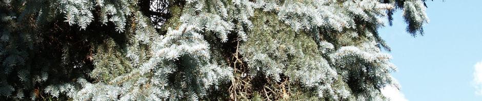 Anklicken um das ganze Bild zu sehen Douglasie Zapfen braun Nadel blaugrün Pseudotsuga menziesii