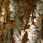 Douglasie Baum Zapfen braun Pseudotsuga menziesii 15