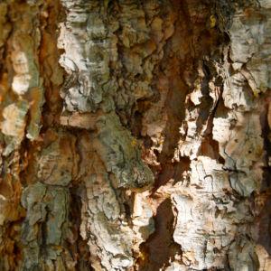 Bild: Douglasie Baum Zapfen braun Pseudotsuga menziesii
