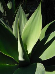 Drachenbaum Agave Blatt gruen Agave attenuata 06