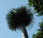 Drachenbaum Blatt gruen Dracaena draco 01