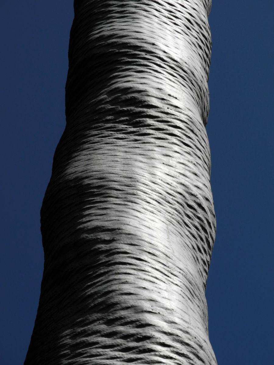 Drachenbaum Rinde silbern Dracaena draco