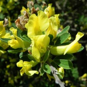 Dreibluetiger Geissklee Bluete gelb Chamaecytisus triflorus 02