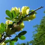 Dreibluetiger Geissklee Bluete gelb Chamaecytisus triflorus 06