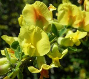 Dreibluetiger Geissklee Bluete gelb Chamaecytisus triflorus 07