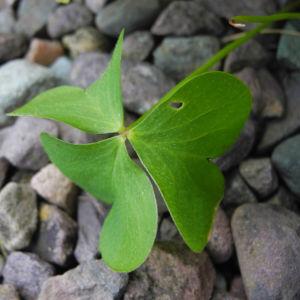 Dreieckiger Gluecksklee Blatt gruen Oxalis triangularis 04