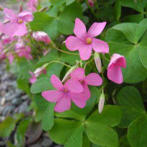 Dreieckiger Gluecksklee Bluete pink Oxalis triangularis 02