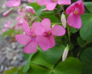 Dreieckiger Gluecksklee Bluete pink Oxalis triangularis 03