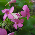 Bild: Dreieckiger Glücksklee Blüte pink Oxalis triangularis