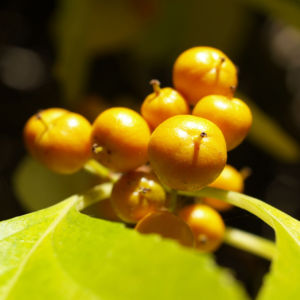 Dreilappiger Kokkelstrauch Frucht orange Cocculus trilobus 01
