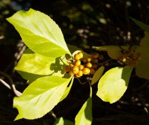 Dreilappiger Kokkelstrauch Frucht orange Cocculus trilobus 07