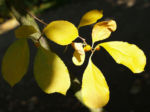 Dreilappiger Kokkelstrauch Frucht orange Cocculus trilobus 08