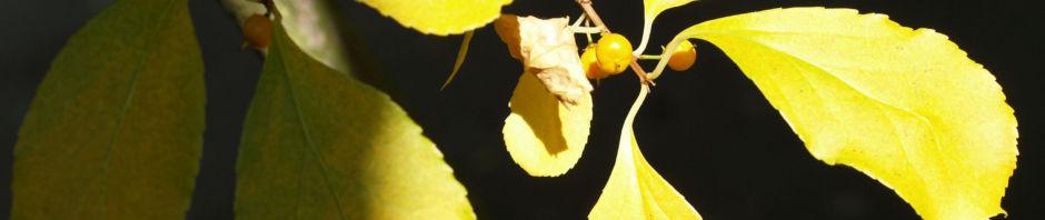 dreilappiger-kokkelstrauch-frucht-orange-cocculus-trilobus