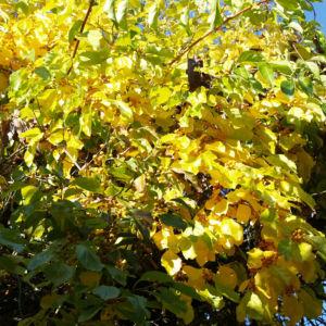 Dreilappiger Kokkelstrauch Frucht orange Cocculus trilobus 09
