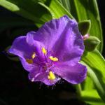 Dreimaster Blume Bluete Tradescantia Andersoniana Hybriden 01