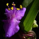 Dreimaster Blume Bluete Tradescantia Andersoniana Hybriden 02