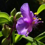 Dreimaster Blume Bluete Tradescantia Andersoniana Hybriden 03