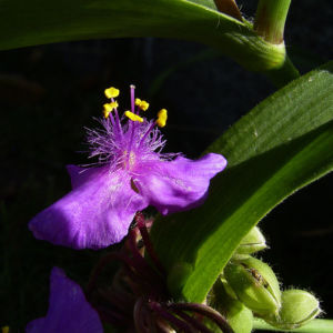 Dreimaster Blume Bluete Tradescantia Andersoniana Hybriden 06