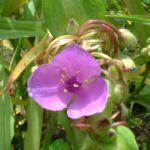 Dreimaster Staude rose Tradescantia Andersoniana Hybriden 04