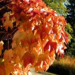 Dreispitzige Jungfernrebe Herbstblatt roetlich Parthenocissus tricuspidata 01