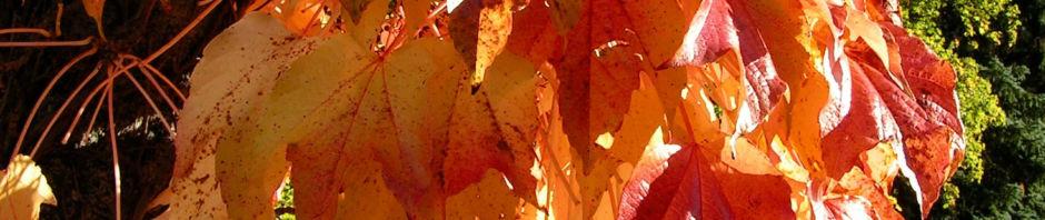 dreispitzige-jungfernrebe-herbstblatt-roetlich-parthenocissus-tricuspidata