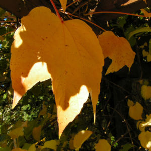 Dreispitzige Jungfernrebe Herbstblatt roetlich Parthenocissus tricuspidata 02