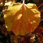 Dreispitzige Jungfernrebe Herbstblatt roetlich Parthenocissus tricuspidata 03