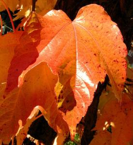 Dreispitzige Jungfernrebe Herbstblatt roetlich Parthenocissus tricuspidata 06