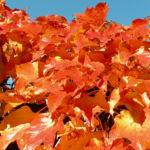Dreispitzige Jungfernrebe Herbstblatt roetlich Parthenocissus tricuspidata 07