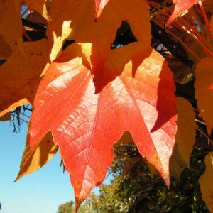 Bild: Dreispitzige Jungfernrebe Herbstblatt roetlich Parthenocissus tricuspidata