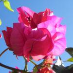 Drillingsblume Bougainville Blatt lila Bougainvillea glabra 02