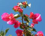 Drillingsblume Bougainville Blatt lila Bougainvillea glabra 04