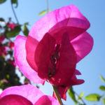 Drillingsblume Bougainville Blatt lila Bougainvillea glabra 06