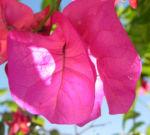 Drillingsblume Bougainville Blatt lila Bougainvillea glabra 07