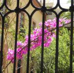 Drillingsblume Bougainville Blatt lila Bougainvillea glabra 08