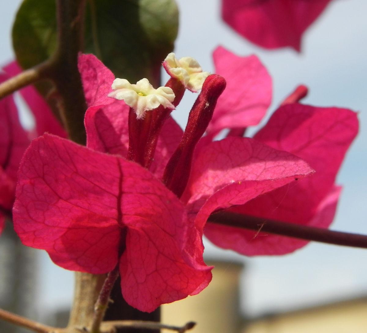 Drillingsblume Bougainville Blatt lila Bougainvillea glabra