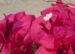 Zurück zum kompletten Bilderset Drillingsblume Bougainville Blüte weiß Blatt purpur Bougainvillea glabra