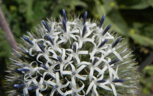 Druesenblaettrige Kugeldistel Bluete weisslich silber Echinops sphaerocephalus 02