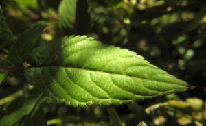 Druesiges Springkraut Blatt gruen Impatiens glandulifera 01
