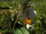 Druesiges Springkraut Bluete weiß Impatiens glandulifera 04