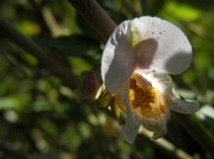 Druesiges Springkraut Bluete weiß Impatiens glandulifera 06