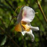 Druesiges Springkraut Bluete weiß Impatiens glandulifera 07